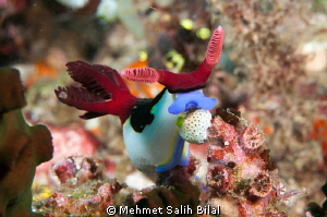 Feeding Nudi by Mehmet Salih Bilal 